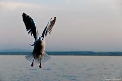 I like to fly / Me gusta volar! (hunter of moments) Tags: light sea naturaleza bird art luz nature mar fly nikon ave pajaro volar d5000