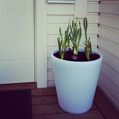 Det blir vår i år med (TinaOo) Tags: flowers square spring squareformat vår amaro hyacint påsklilja iphoneography instagramapp uploaded:by=instagram