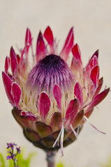 King Portea (Amar__Rai) Tags: plant flower nature protea kingprotea proteacynaroides kingsugarbush