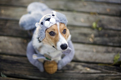 (267/358) (epine) Tags: life dog cute halloween me its hat canon puppy pembroke photography costume outfit corgi squirrel zoey day dof 14 like be tricolor what 5d welsh nut bryant 50 scannell epione