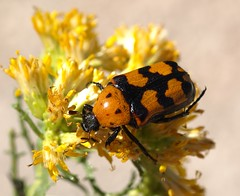 Euphoria fascifera (margarethe brummermann) Tags: insects rove longhorn beetles scarab coleoptera insecta scarabbeetles scarabaeidae polyphaga scarabaeoidea taxonomy:binomial=euphoriafascifera stagandbessbeetlesscarabaeidaescarabbeetles