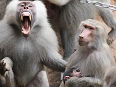 Hamadryas baboon (John van Beers) Tags: zoo monkey ape baboon koln baviaan hamadryasbaboon dierentuin keulen mantelbaviaan kolnerzoo