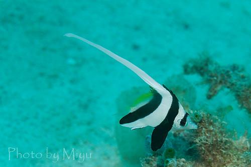 ハタタテダイの幼魚