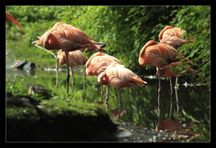 Flamingoes (malomeri) Tags: new york birds zoo bronx flamingoe