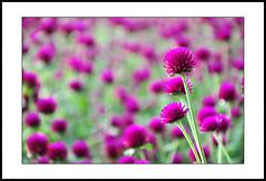 close-up #3 (e.nhan) Tags: life light red flower art nature closeup spring colorful colours dof bokeh backlighting enhan