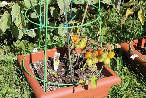 Ripening Tomatoes 1