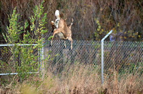 Buck Leaping DSC_4682