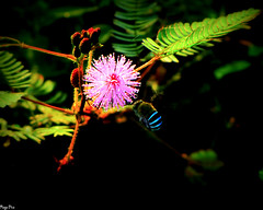 A bee is never as busy as it seems; it's just that it can't buzz any slower. (Ragavendran / Rags) Tags: flowers blue light red plants flower green nature canon bee bumblebee busy honey nectar chennai honeybee tamilnadu collector honeycollector chengalpet sx20is ragavendran