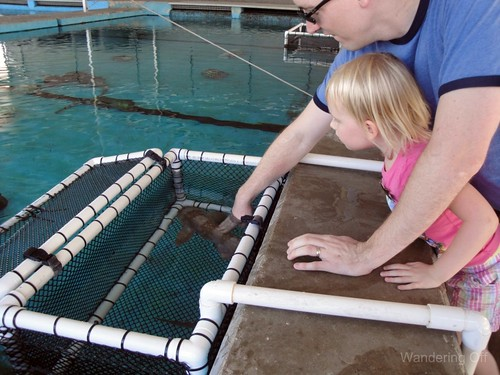 Touching a white-spotted bamboo shark. Sea World San Antonio