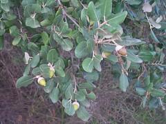 Quercus ilex subsp. ballota (Text), NGID228727892 (naturgucker.de) Tags: spanien balearen quercusilex steineiche ermitadebetlem naturguckerde cwolfgangkatz ngid228727892