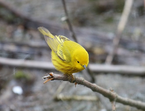 Yellow Warbler by ricmcarthur