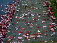 PAVING THE WAY (Irene, W. Van. BC) Tags: autumn red leaves autumncolours fallfoliage sidewalks redleaves fallenleaves falltrees redeverywhere sidewalkleaves fallshrubs