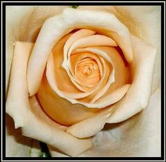 Rzsa...emlkl.....In memory of...... (KszegiZska) Tags: flower macro nature garden hungary budapest simplybeautiful masterphotos ilroseto thegalleryofflowerseffe