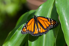 Butterfly (djmdjmdjm) Tags: iso200 noflash f56 105mm aperturepriority 105mmf28 nikond90 centerweightedaverage sec ev subjectdistance150m 157mmefl