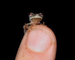 Baby frog (asnyder5) Tags: nature rainforest finger wildlife amphibian frog jungle tiny babyfrog andrewsnyder osteocephalus guianashield asnyder5 andrewmsnyder onephotoweeklycontestweek49