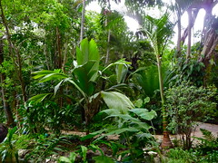 Pelagodoxa and Carpoxylon (tranquilometro) Tags: beautiful garden palms landscape amazing paradise florida miami landscaping awesome rocky palm palmtrees palmtree tropical genius subtropical collector southflorida miamidade amazingplace tropicalgarden amazingly beautifulplace themostbeautifulplaceintheworld paradisefound tropicallandscape