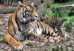 Taronga tigers (myopixia) Tags: tiger sumatrantiger taronga tarongazoo tigercub pantheratigrissumatrae myopixia jumilah