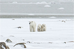 Stay close! (ucumari) Tags: november snow canada ice manitoba polarbear churchill cubs coy tundra 2010 hudsonbay ursusmaritimus wapusknationalpark specanimal specanimalphotooftheday ucumariphotography dsc4174