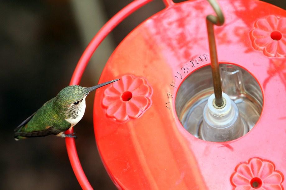 Allen's Hummingbird 110211