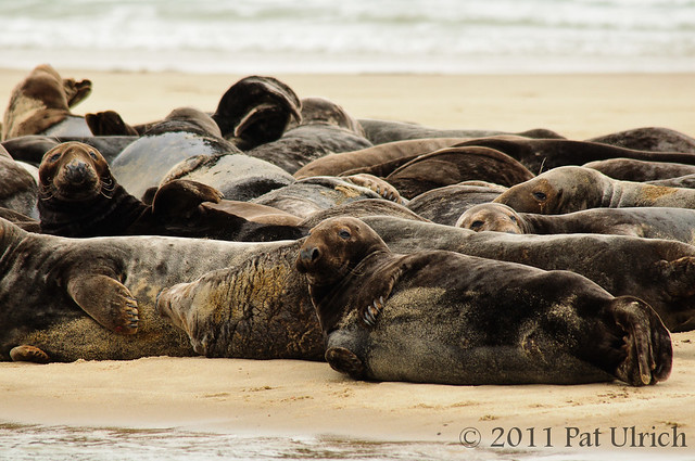 Herd of gray seals