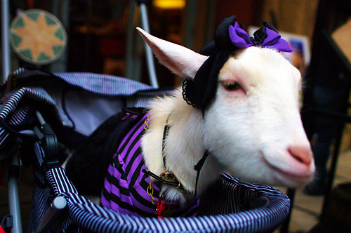 costumed goat