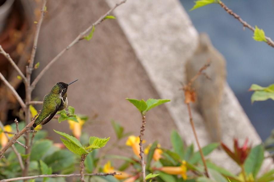 Anna's Hummingbird110411-3
