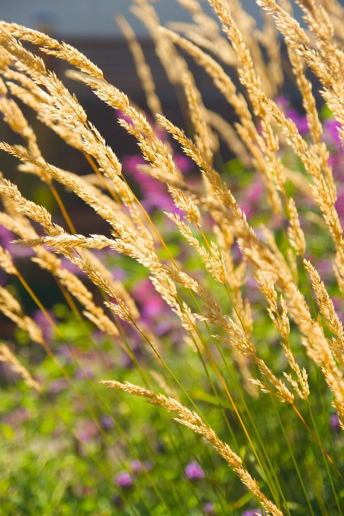 calamagrostis sunlit  872