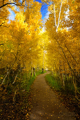 The Golden Path (Darvin Atkeson) Tags: california blue autumn orange mountain color green fall yellow gold highway sierra silverlake aspen sierranevada junelake 395 mountainrange highway395 darvin junelakeloop atkeson darv liquidmoonlightcom