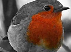 Red Breast (ianharrywebb) Tags: nature robin iansdigitalphotos blinkagain yahoo:yourpictures=wildlife yahoo:yourpictures=nature