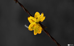 Beauty on the Barbwire (Daniel Wildi Photography) Tags: light beauty yellow switzerland leaf wire walk pass barb gurnigel colorkey 2011 cantonbern danielwildiphotography