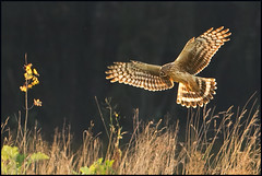The small things (hvhe1) Tags: bird nature animal feeding wildlife hunting seed mice raptor success birdofprey fouraging ringtail jagen roofvogel henharrier circuscyaneus blauwekiekendief specanimal hvhe1 hennievanheerden avianexcellence fourageren
