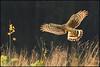 The small things (hvhe1) Tags: bird nature animal feeding wildlife hunting seed mice raptor success birdofprey fouraging ringtail jagen roofvogel henharrier circuscyaneus blauwekiekendief specanimal hvhe1 hennievanheerden avianexcellence fourageren