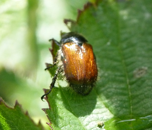 Dung Beetle (Aphodius fimetarius) by Peter Orchard