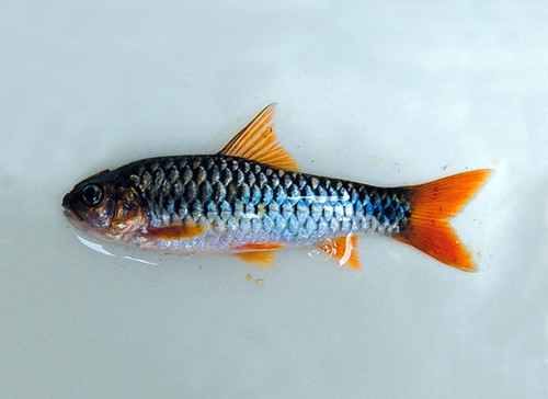 Ornamental fish. Photo by Randall Brummett, 2006
