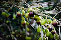 Aceitunas en olivo (Grupo Caparrs) Tags: espaa sol de cabo natural oil grupo oliva almeria parte oro aceituna prez fernn portocarrero caparros njar gatanijar