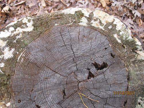 11/14/11: Tree ring history.