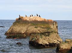Double-crested Cormorants (sandy richard) Tags: longisland beaches wildwood wildwoodstatepark sandyrichard sandrarichard