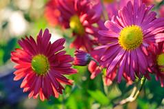 November Glory (george.bremer) Tags: nyc pink flowers autumn usa newyork yellow garden nikon bronx magenta mums d300 nybotanicalgardens 6028afdmicro