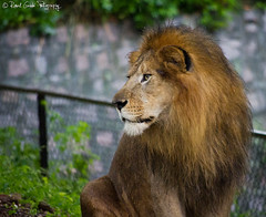 """King of the Jungle • <a style=""""font-size:0.8em;"""" href=""""http://www.flickr.com/photos/41711332@N00/6353420347/"""" target=""""_blank"""">View on Flickr</a>"""