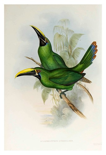 011- Tucan de cuello negro-Supplement of the Ramphastidae or family of Toucans Gould John-1855
