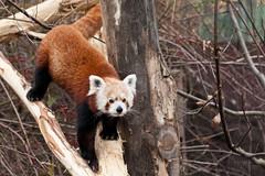 Kleiner Panda (CROW1973) Tags: schnbrunn wien canon eos panda tiergarten kleiner 5dmkii