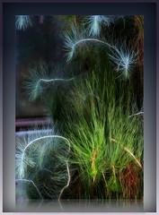 Fireworks of a conifer plant (KF-Photo) Tags: firework feuerwerk tübingen nadeln botanischergarten nadelholz coniferplant