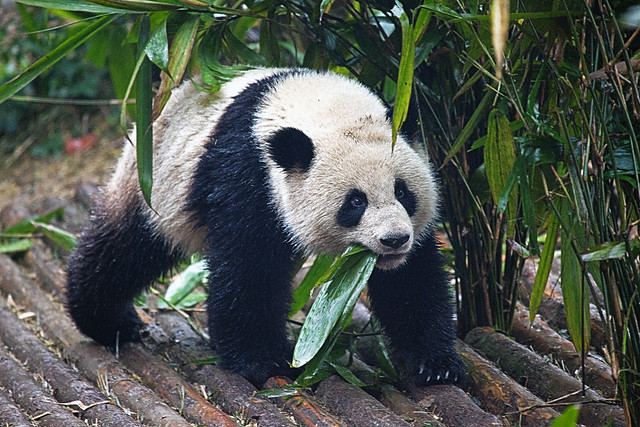 CHINA Sichuan Province Chengdu Sichuan Giant Panda Sanctuaries Chongquing Tour 2793 AJ20