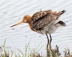 Shake (Andrew H Wildlife Images) Tags: nature wildlife rspb wader blacktailedgodwit blacktoftsands ajh2008