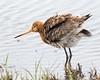 Shake (Andrew Haynes Wildlife Images) Tags: nature wildlife rspb wader blacktailedgodwit blacktoftsands ajh2008