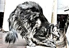 La Boira s'estira (trvbaker) Tags: white black beauty cat furry feline tabby longhair stretch gato hdr peludo