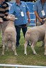 Bollocks! (alflow) Tags: sheep competition testicles livestock