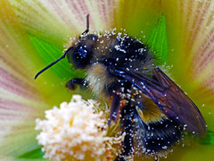 A bee (Ke7dbx) Tags: summer black flower macro animal animals yellow pen insect olympus bugs bee e ep3 p3