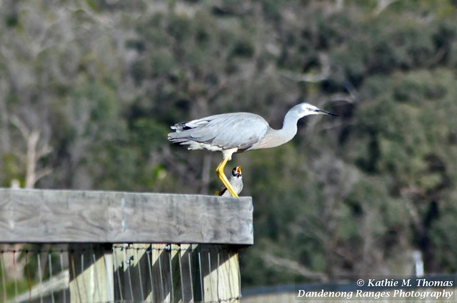 White-faced Grey Heron and Minor Bird