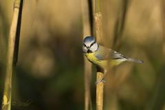 Cinciarella (_milo_) Tags: italy bird canon eos italia tamron oiseau uccello birdwatcher oasi 70300 angera cinciarella 60d bruschera